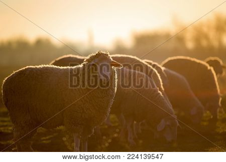 Sheep Herd On Farm