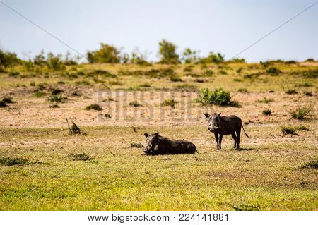 Warthogs motionless in the savannah of Maasai Mara Park in northwestern Kenya