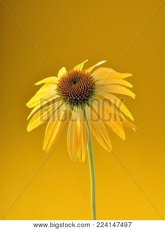 Colorful and crisp image of yellow coneflower on yellow background
