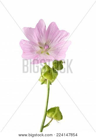 Colorful and crisp image of musk mallow isolated on background