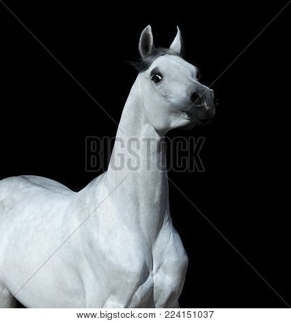 Light gray Arabian horse on black background. Graceful statuary stallion looking at camera.
