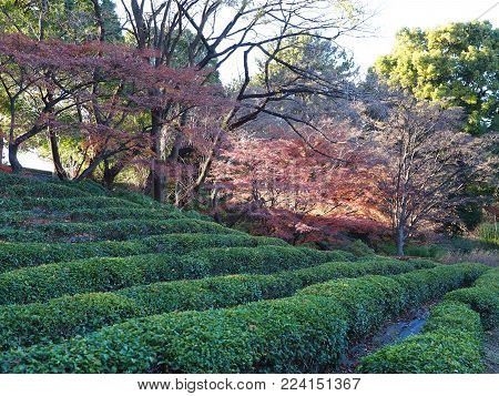 Japanese garden hedge rows. Neat rows of hedges at a downtown Japanese garden park in Tokyo Japan. Maple trees In the background.