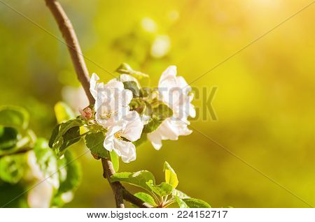 Spring apple flowers in blossom lit by soft sunlight, spring flower background. Apple spring tree branch with white apple flowers in the spring garden, space for text. Sunny spring background with blooming spring apple flowers