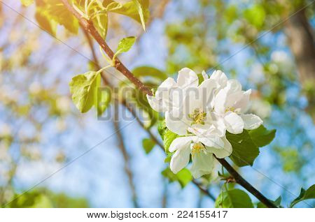 Spring blossoming apple flowers under bright sunlight, spring nature with blooming apple flowers. Sunny spring landscape view of spring apple tree in blossom, closeup of spring apple tree flowers