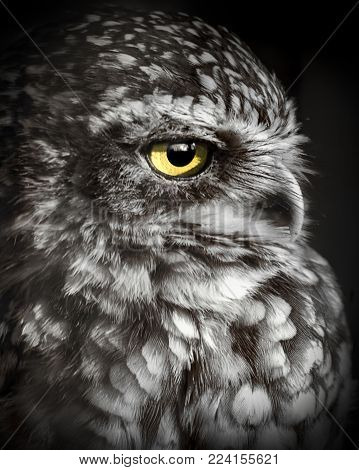 Wildlife and birds, a black and white portrait face image of a burrowing Owl bird of prey.