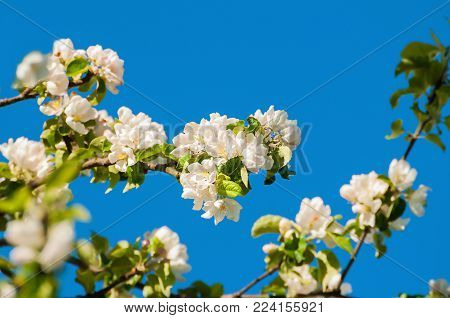 Spring landscape with spring apple tree in the garden. Spring flowers of blooming spring apple tree against blue sky. Colorful spring nature of apple flowers in spring blossom, spring nature background