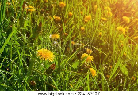 Spring landscape - blooming spring flowers of dandelion under the tree in the spring forest. Selective focus at the dandelion flower. Spring nature background