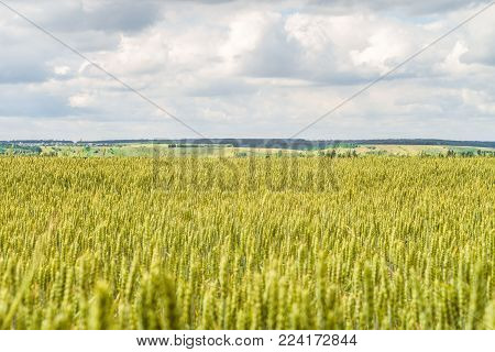 Countryside landscape with greens of ripening wheat ears. Agricultural plantation background with limited depth of field. Cereal field and green hills on the horizon.