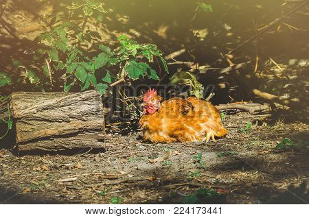 One hens in a village, animals, nature