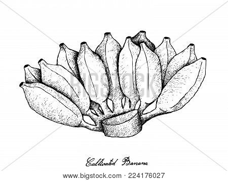 Fresh Fruits, Illustration of Hand Drawn Sketch Bunch of Wild Bananas, Asian Bananas or Cultivated Bananas Isolated on A White Background.