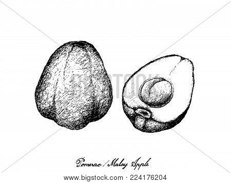 Fruit, Illustration Hand Drawn Sketch of Fresh Pomerac, Malay Rose Apple, Pomme Malac or Syzygium Malaccense Isolated on White Background.