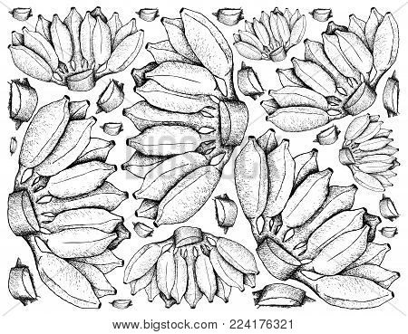 Fresh Fruits, Illustration Background of Hand Drawn Sketch Bunch of Wild Bananas, Asian Bananas or Cultivated Bananas.