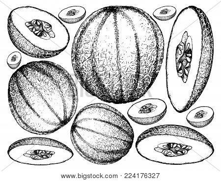 Fruit, Illustration Background of Hand Drawn Sketch of Cantaloupe, Muskmelon, Mushmelon, Rockmelon, Sweet Melon or Spanspek.