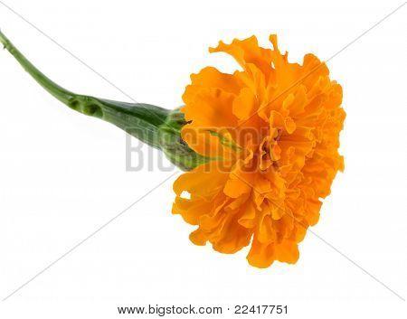 orange marigold  isolated on white