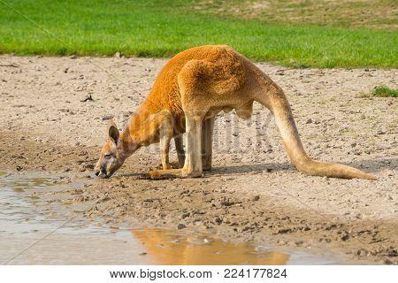 The red Kangaroo is the largest species of Kangaroo the symbol animals of Australia.