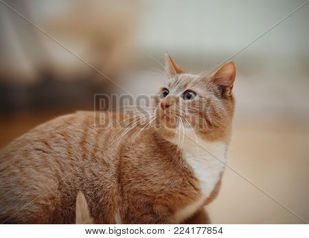 Portrait of a striped frightened domestic red domestic cat