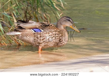 Female mallard, mottled wild duck, with brown speckled plumage standing in crystal clear lake water of Achensee, Achen Lake during Autumn in Tyrol, Austria, Europe