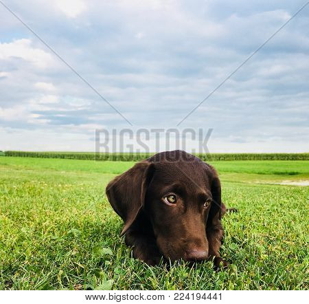 Chocolate lab puppy in open field background