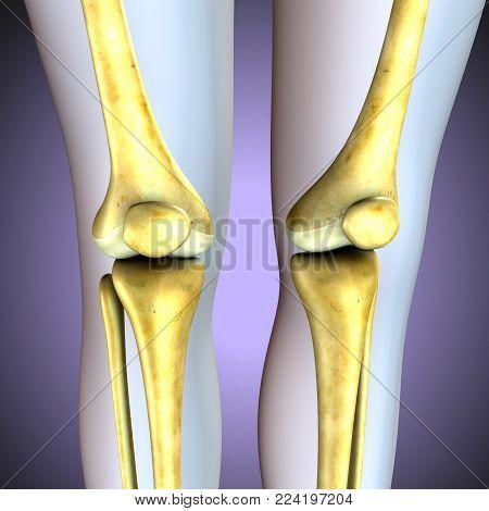 3d  illustration. human knee bones skeletal system