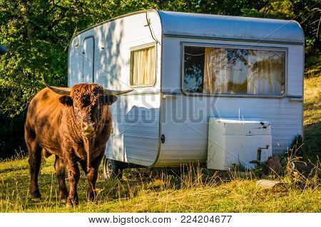 Bull Standing Up Close To A Caravan In A Camping Ground
