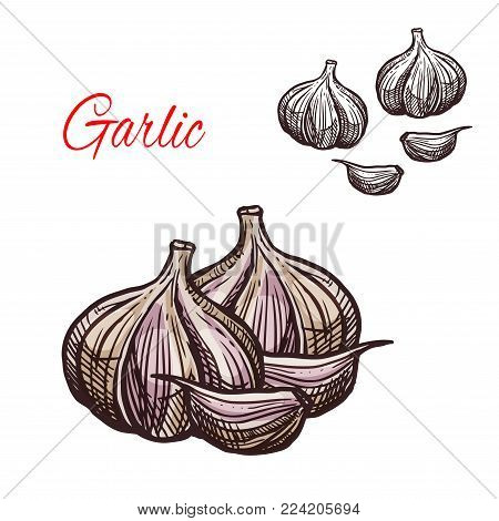 Garlic seasoning spice herb sketch icon. Vector isolated garlic bulb vegetable plant for culinary cuisine cooking or flavoring herbal seasoning ingredient or grocery store and market design
