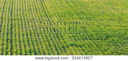 Green sprouts of wheat. Green Wheat Sprouts