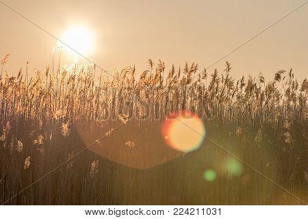 Reeds at sunset. Beautiful sunset with a reed.