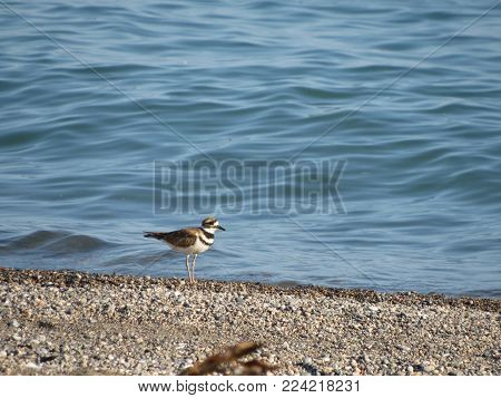 A brown bird standing on a rocky shoe of Lake Erie.