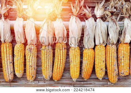 maize for breeding hang up for drying with sunlight, corn with shell dry for breeding
