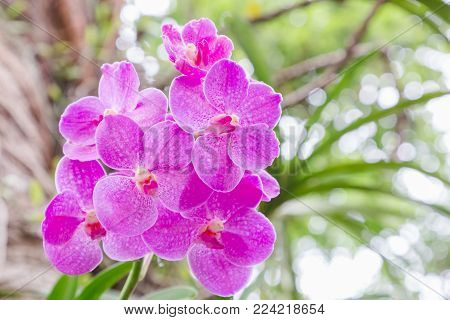 Orchid flower in orchid garden at winter or spring day for postcard beauty and agriculture idea concept design. Vanda coerulea orchid. Hybrid orchid.