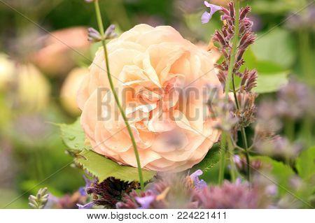 Creamy Color Flower Gruss An Aachen Rose Also Called Willow Glen. Flower Details Of Bourbon Rose.