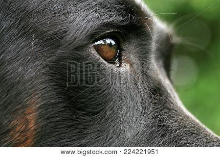 Eye Dogs With Reflection. Animal Visual Perception, Macro Photography.