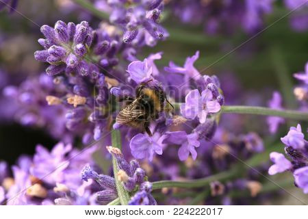 Bee on flower, macro. Bumblebee (Bombus) pollinating lavender in eco, rustic, home garden.