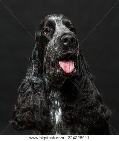 English cocker spaniel dog isolated on black background