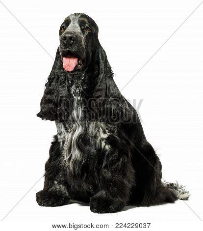 English cocker spaniel dog sitting isolated on white