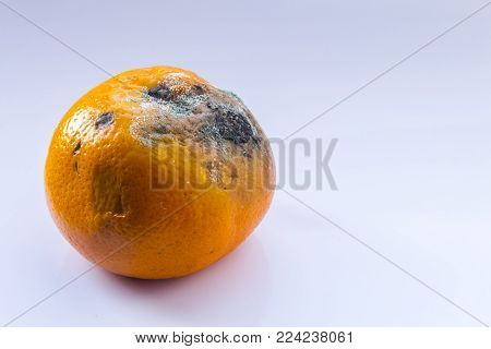 A spoiled fruit. Rotten mandarin on a white background. Citrus covered with mold. Copy space. Close-up.