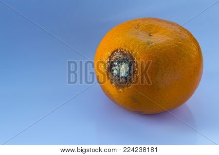 Spoiled Citrus Fruit is on a blue background. Mold on a ripe orange mandarin. Copy space. Close-up.