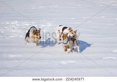 Mixed breed dogs attacking basenji dog while playing on a fresh snow