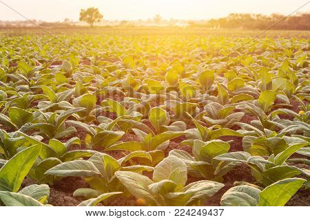 View Of Young Green Tobacco Plant In Field At Sukhothai Province, Thailand