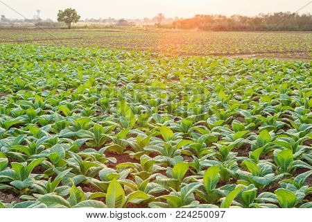 Young Green Tobacco Plant In Field At Sukhothai Province Northern Of Thailand