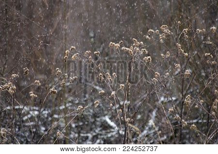 Dry branches of a burdock with prickles during snowfall in the winter