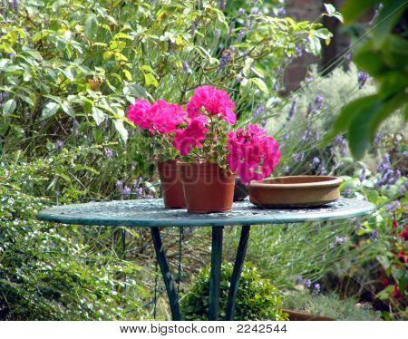 Crimson Geraniums In Pots