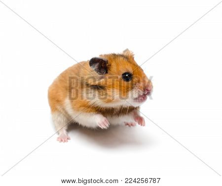 Funny angry hamster with an open mouth (on a white background), selective focus on the hamster eyes