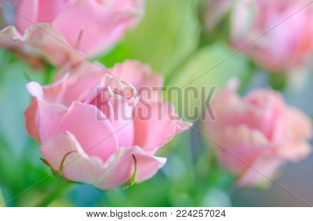 Beautiful soft focus pink roses as a blurred floral rose background (very shallow DOF, selective focus)
