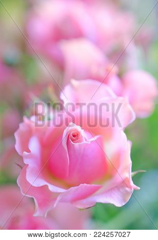 Soft focus pink roses as a blurred rose background (very shallow DOF, selective focus on the center of the rose bud)