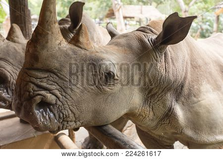 Close up protrait of the strong white Rhynoceros
