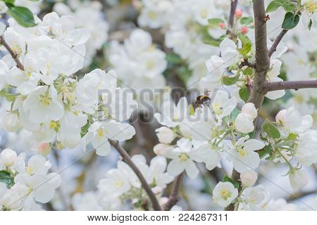 Bumblebee pollinating white flowers and buds of garden apple tree outdoors