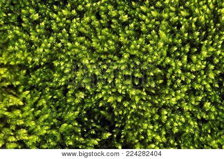 Texture of green moss. Green moss pattern
