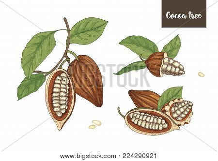Set of detailed drawings of whole and cut ripe pods or fruits of cocoa tree with beans, branches and leaves isolated on white background. Vector illustration hand drawn in elegant vintage style