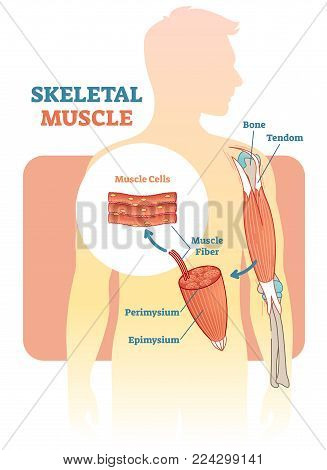 Skeletal muscle vector illustration diagram, anatomical scheme with human hand. Medical educational information.